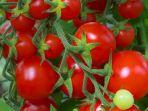 tomat_20170514_101738.jpg