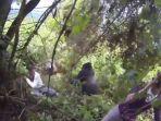 turis-dikejar-gorilla_20170414_130729.jpg