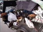 video-anjing-anjing-terikat-di-atas-bentor-viral-di-sosial-media.jpg