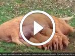 video-babi-terbang_20161111_115522.jpg