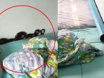 viral-kisah-ibu-kaget-melihat-ular-hitam-meringkuk-di-balik-bantal-bayinya.jpg