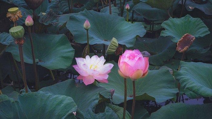 DAFTAR Bunga Hias yang Bisa Membawa Keberuntungan Menurut Feng Shui, Teratai hingga Hydrangea