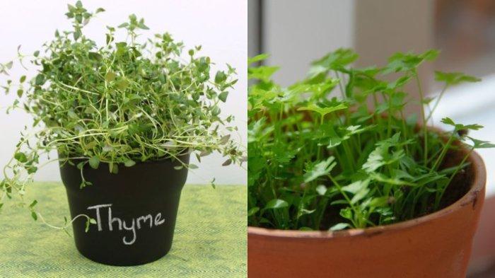 5 Daun-daun Bumbu Rempah yang Dapat Ditanam di Dalam Dapur, Mudah dan Cantik