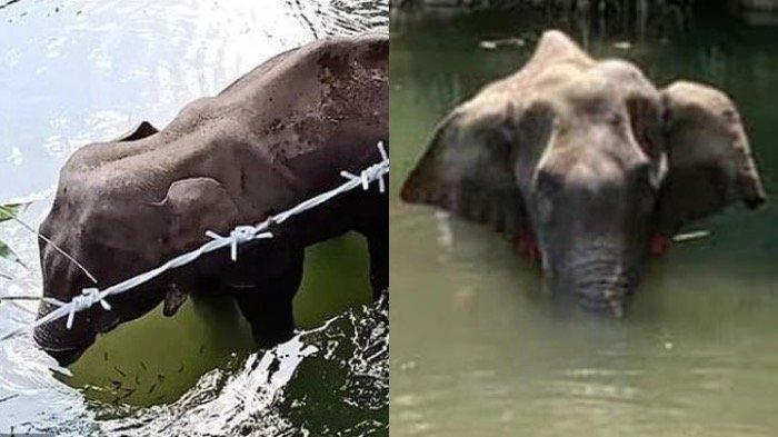Kasus Gajah Mati Berdiri Setelah Makan Nanas Berisi Petasan, Pemerintah India Buru Tersangka