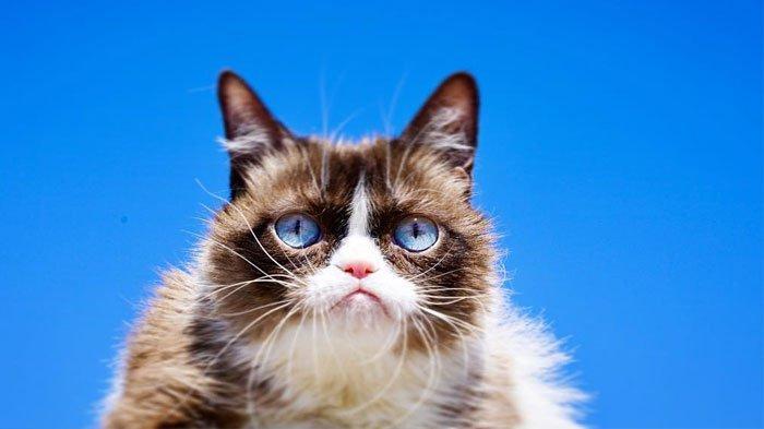 Grumpy Cat, Kucing Cemberut yang Banyak Jadi Meme, Mati Karena Komplikasi Infeksi Saluran Kencing
