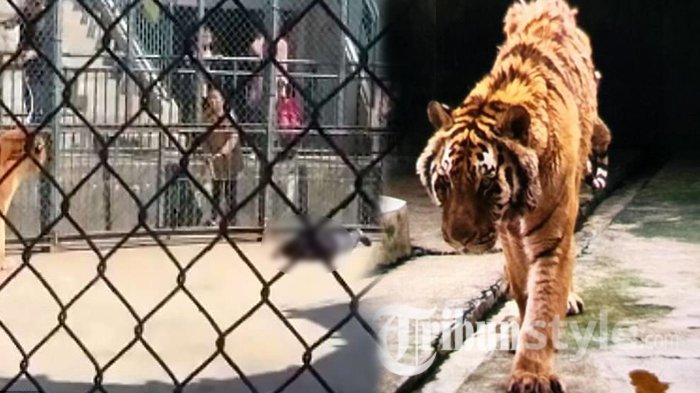 Lagi, Penjaga Kebun Binatang Tewas Diserang Harimau saat Bersihkan Kandang Seorang Diri