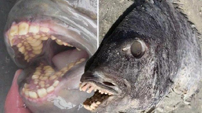 Ibu Ini Temukan Seekor Ikan Mengerikan dan Aneh Terdampar Dengan Mulut Bergigi Manusia