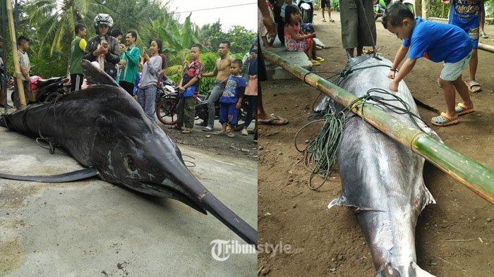 Heboh Nelayan Tangkap Ikan Marlin 'Super Besar' Berbobot 250 Kg di Pangandaran, Segini Harga Jualnya