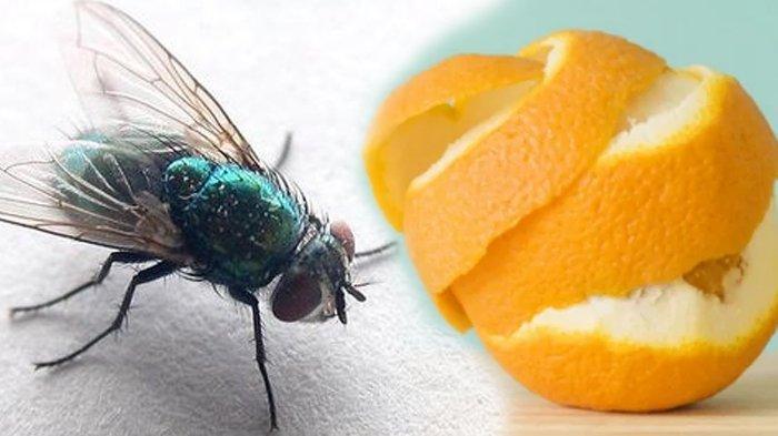 5 Cara Mengusir Lalat di Dalam Rumah dengan Bahan Alami Tanpa Semprotan Serangga, Aman dan Sederhana