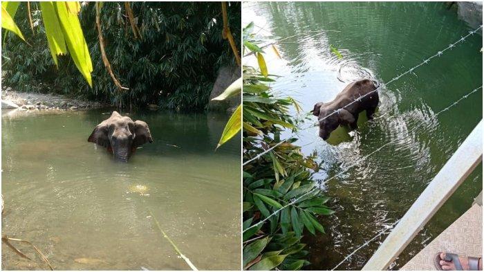 TERLALU Kelakuan Jahat Warga pada Gajah Sedang Hamil, Diberi Nanas Isi Mercon, Gajah Mati Meradang!