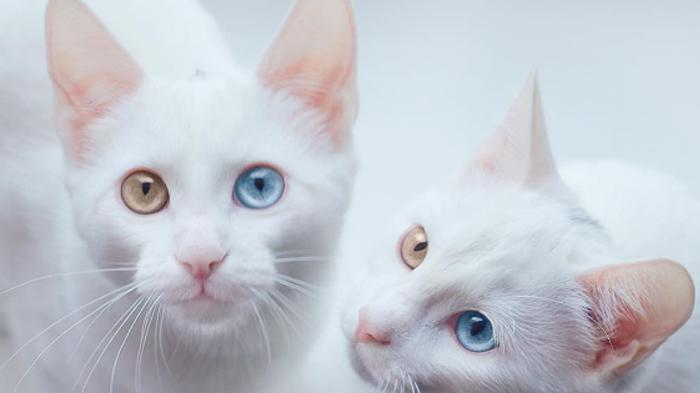 Gambar Kucing Hd godean.web.id