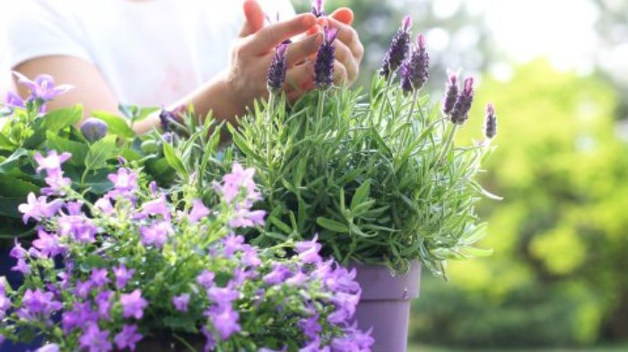 Ilustrasi tanaman lavender.