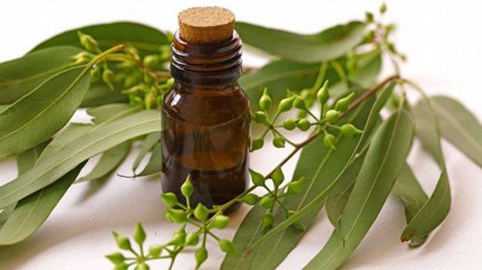 Terapi minyak kayu putih bisa redakan kehilangan indera penciuman karena Covid-19.