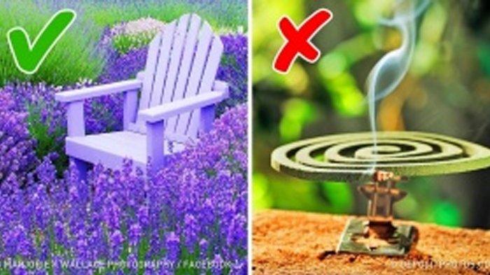 Tanpa Obat Nyamuk, Ini 6 Cara Alami Menghindari Gigitan Nyamuk