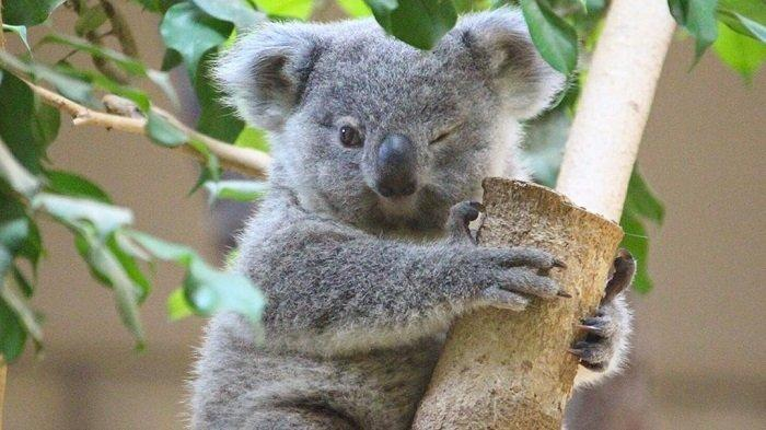 Peneliti Umumkan Kepunahan Koala, Akibat dari Penurunan Jumlah di Alam Liar