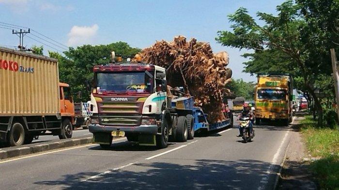 Truk bermuatan pohon Baobab raksasa terlihat melalui jalur Pantura.