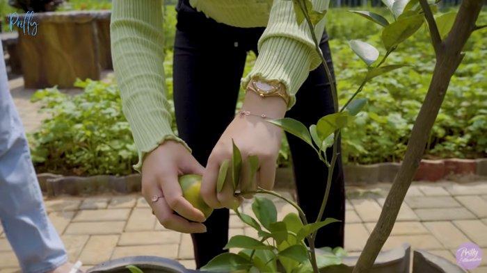 Prilly Latuconsina petik jeruk di kebunnya sendiri.