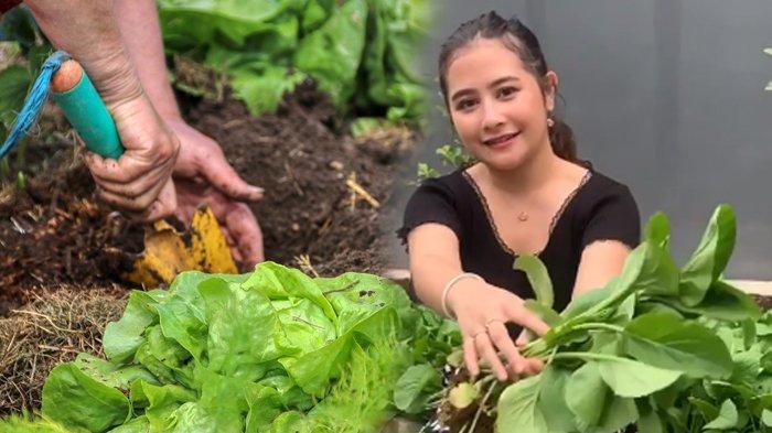 Prilly Latuconsina punya kebun sayur organik sendiri.