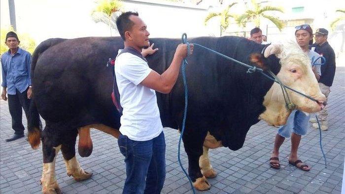 Jokowi Beli Sapi Kurban Seberat 1 Ton, Peternak ini Ungkap Harga Ternaknya Mencapai Rp 100 Juta