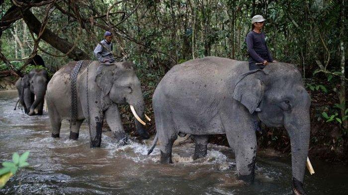 ILUSTRASI (Sekolah gajah di Taman Nasional Way Kambas.)
