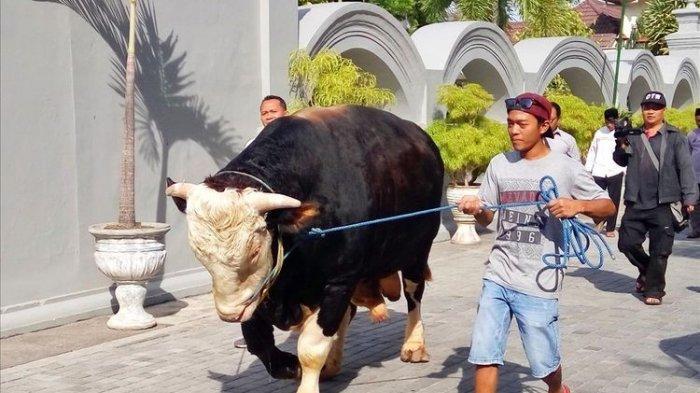 Idul Adha 2019: Ini Penampakan Si 'Black', Sapi Kurban 1 Ton yang Dibeli Jokowi Seharga Rp 100 Juta