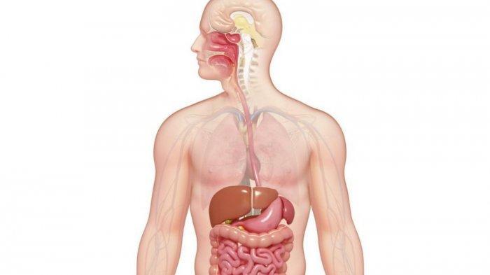 Jenis - Jenis Enzim Pencernaan Manusia, Amilase di Mulut hingga Protase di Pankreas dan Usus Halus