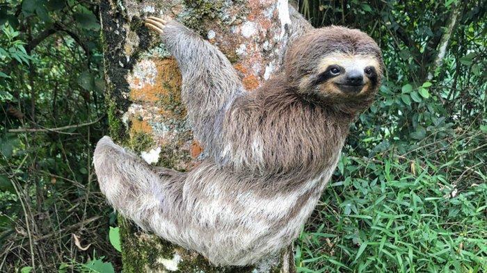 Bukan Siput, Ternyata Sloth jadi Hewan Terlambat di Dunia, Tapi Hewan Perenang Cepat!