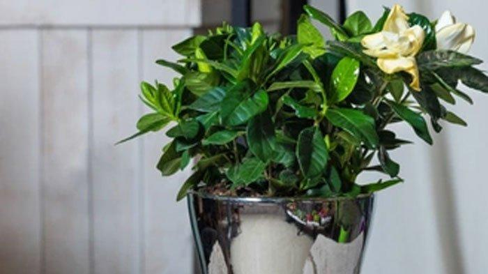 Tanaman Gardenia memiliki wangi semerbak