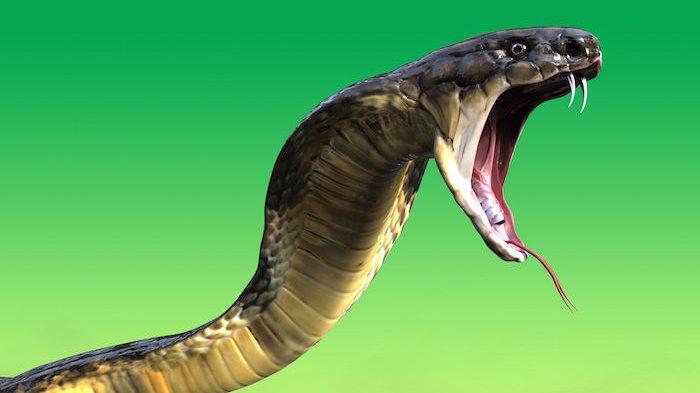 5 Fakta Tentang Ular Kobra yang Sedang Menghebohkan di Berbagai Daerah Indonesia