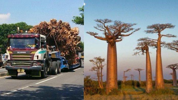 VIRAL Crazy Rich Semarang Beli Pohon Baobab Raksasa, Ini Keistimewaannya, Dijuluki 'Pohon Kehidupan'