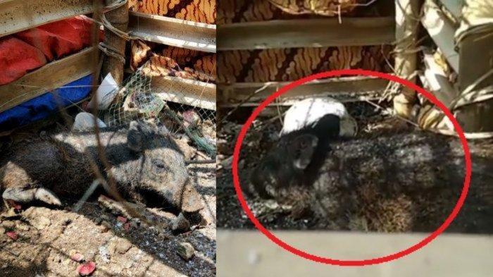 Viral video diduga babi ngepet ditangkap warga di Depok.