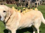 anjing-labrador_20180524_134002.jpg