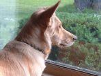 anjing-menatap-ke-luar-jendela_20171002_123541.jpg
