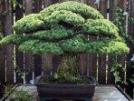 bonsai_20161226_135734.jpg