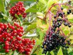 buah-elder.jpg