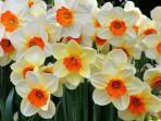 bunga-narcissus-atau-bunga-daffodil.jpg