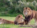dua-ekor-singa-jantan-dan-seekor-singa-betina_20170828_234731.jpg