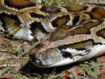 foto-ular-piton.jpg