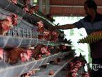 harga-anjlok-peternak-bagi-bagi-ayam-gratis-di-yogyakarta-ada-5000-ekor-catat-jadwal-lokasinya.jpg