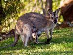 kanguru-betina-yang-menggendong-anaknya-di-kantong-begini-cara-membersihkannya.jpg
