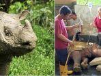 kisah-badak-sumatera-terakhir-yang-berada-di-penangkaraan-malaysia-kesehatan-menurun-umur-30-tahun.jpg