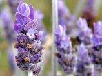 lavender_20170708_174835.jpg