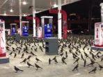 penampakan-burung-hitam_20180211_090142.jpg