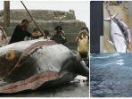 Jepang Berhasil Taklukkan 177 Paus demi Program Perburuan Tahunan, Prestasi yang Kontroversial!