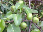 pohon-manchineel-hippomane-mancinella_20180617_101427.jpg