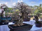 ratusan-pohon-bonsai-mengikuti-kontes-tanaman-bonsai.jpg