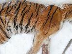 sakit-gigi-parah-tak-bisa-makan-harimau-ini-memohon-pertolongan-ke-rumah-warga.jpg