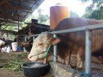sapi-kurban-jokowi-untuk-warga-lombok-nusa-tenggara-barat-memiliki-bobot-hingga-13-ton.jpg