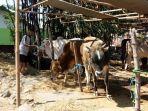 sapi-milik-tri-56-yang-dijual-untuk-kurban-idul-adha_20180817_220336.jpg
