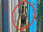 seekor-harimau-sumatera-terjebak-di-lorong-ruko-pasar-riau.jpg